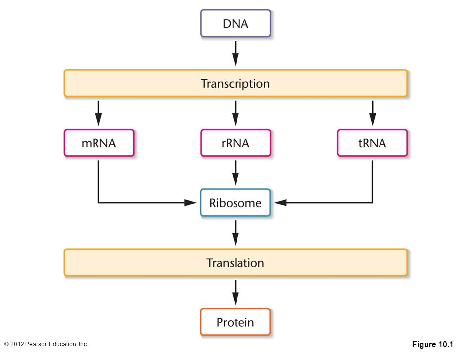 Figure 10.1 Simplified view of the central dogma describing information flow involving DNA, RNA, and proteins within cells.
