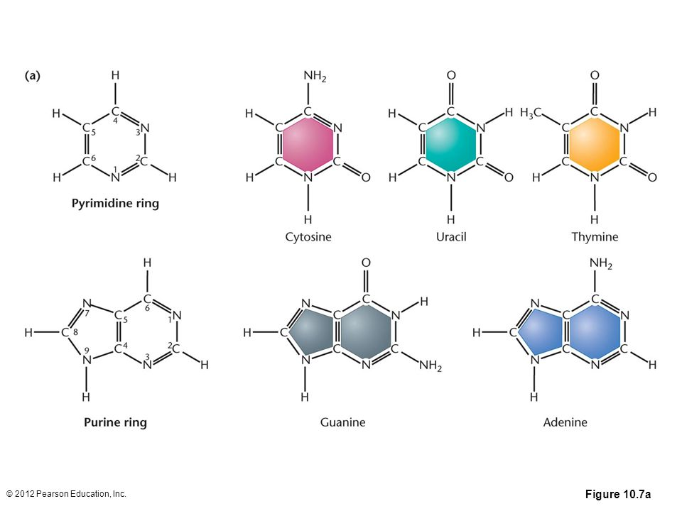 Figure 10.7a (a) Chemical structures of the pyrimidines and purines that serve as the nitrogenous bases in RNA and DNA. The nomenclature for numbering carbon and nitrogen atoms making up the two bases is shown within the structures that appear on the left. (b) Chemical ring structures of ribose and 2-deoxyribose, which serve as the pentose sugars in RNA and DNA, respectively.Web Tutorial 10.1DNA Structure