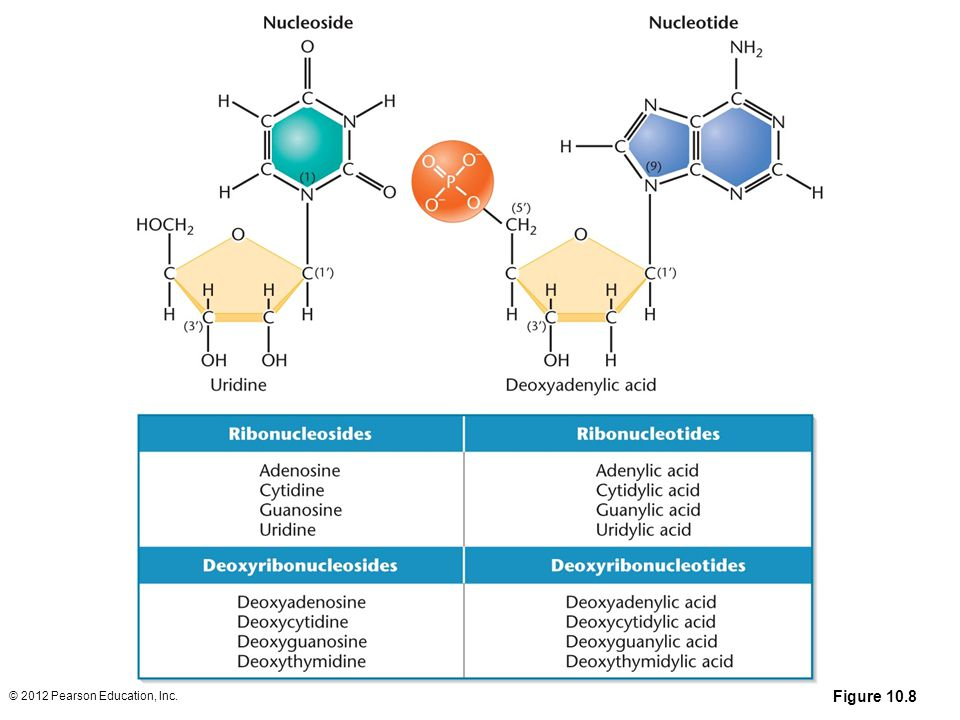 Figure 10.8 Structures and names of the nucleosides and nucleotides of RNA and DNA.