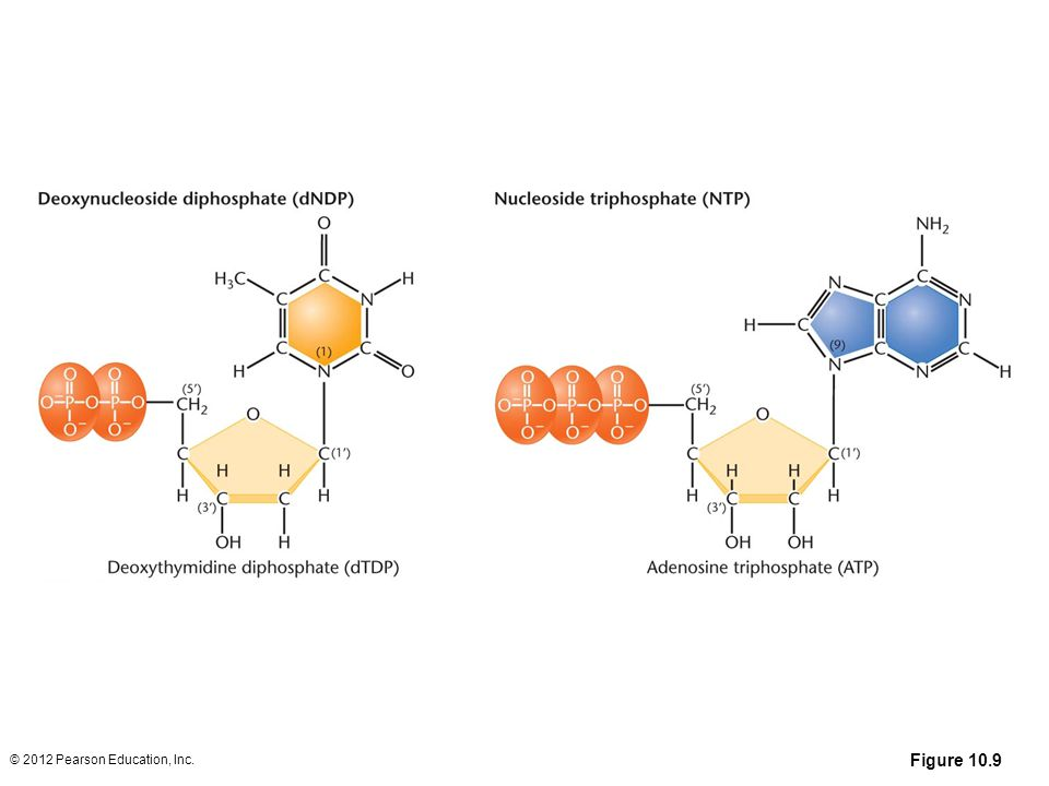 Figure 10.9 Basic structures of nucleoside diphosphates and triphosphates, as illustrated by deoxythymidine diphosphate and deoxyadenosine triphosphate
