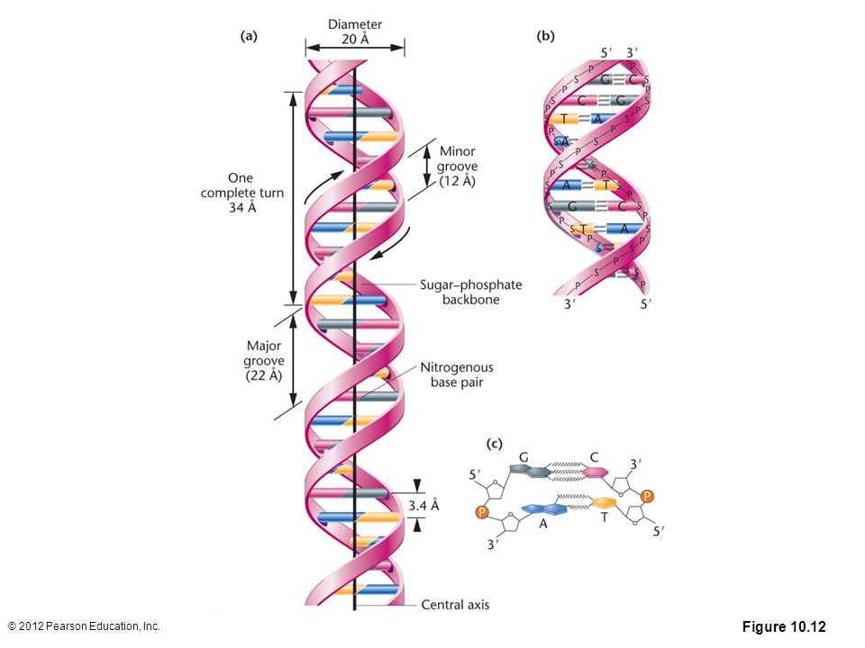 Figure 10. 12 (a) The DNA double helix as proposed by Watson and Crick