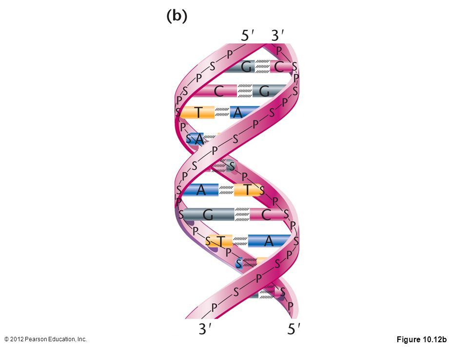 Figure 10.12b (a) The DNA double helix as proposed by Watson and Crick. The ribbonlike strands constitute the sugar-phosphate backbones, and the horizontal rungs constitute the nitrogenous base pairs, of which there are 10 per complete turn. The major and minor grooves are apparent. The solid vertical bar represents the central axis. (b) A detailed view depicting the bases, sugars, phosphates, and hydrogen bonds of the helix. (c) A demonstration of the antiparallel nature of the helix and the horizontal stacking of the bases.