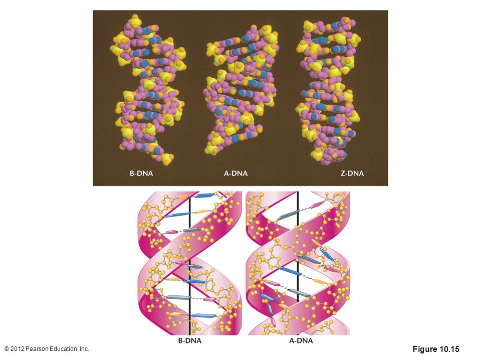 Figure 10.15 The top half of the figure shows computer-generated space-filling models of B-DNA (left), A-DNA (center), and Z-DNA (right). Below is an artist's depiction illustrating the orientation of the base pairs of B-DNA and A-DNA. (Note that in B-DNA the base pairs are perpendicular to the helix, while they are tilted and pulled away from the helix in A-DNA.)