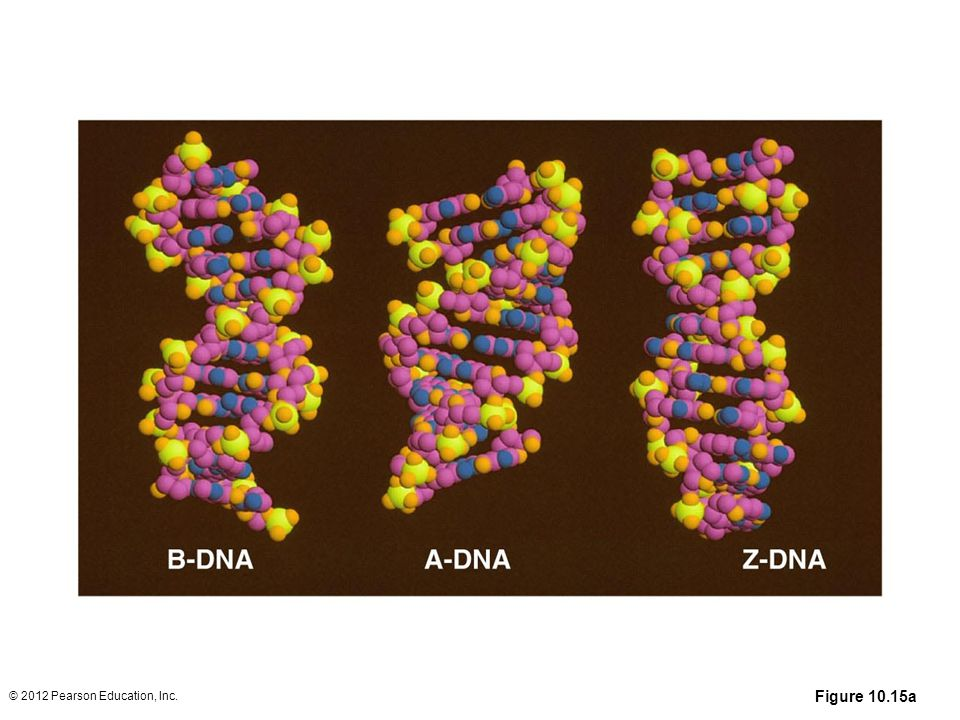 Figure 10.15a The top half of the figure shows computer-generated space-filling models of B-DNA (left), A-DNA (center), and Z-DNA (right). Below is an artist's depiction illustrating the orientation of the base pairs of B-DNA and A-DNA. (Note that in B-DNA the base pairs are perpendicular to the helix, while they are tilted and pulled away from the helix in A-DNA.)