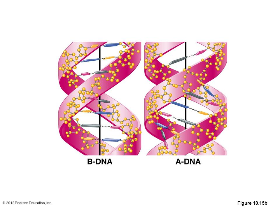 Figure 10.15b The top half of the figure shows computer-generated space-filling models of B-DNA (left), A-DNA (center), and Z-DNA (right). Below is an artist's depiction illustrating the orientation of the base pairs of B-DNA and A-DNA. (Note that in B-DNA the base pairs are perpendicular to the helix, while they are tilted and pulled away from the helix in A-DNA.)