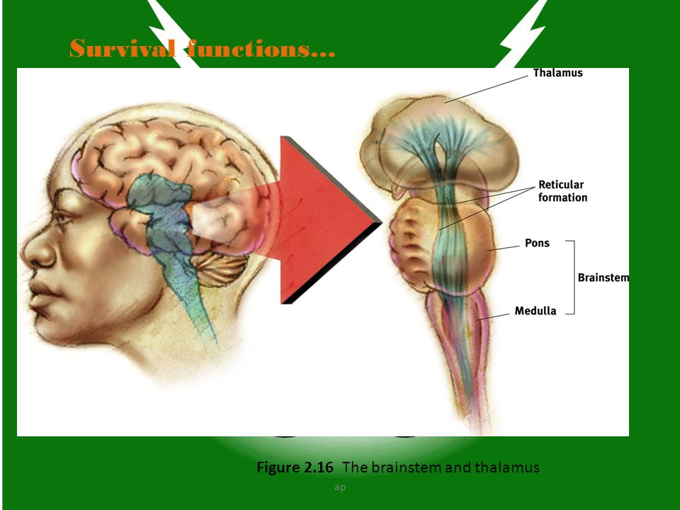 Survival functions… Figure 2.16 The brainstem and thalamus ap