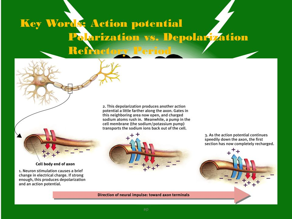 Key Words: Action potential Polarization vs. Depolarization