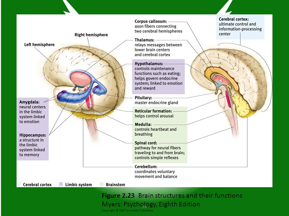 Figure 2.23 Brain structures and their functions Myers: Psychology, Eighth Edition Copyright © 2007 by Worth Publishers