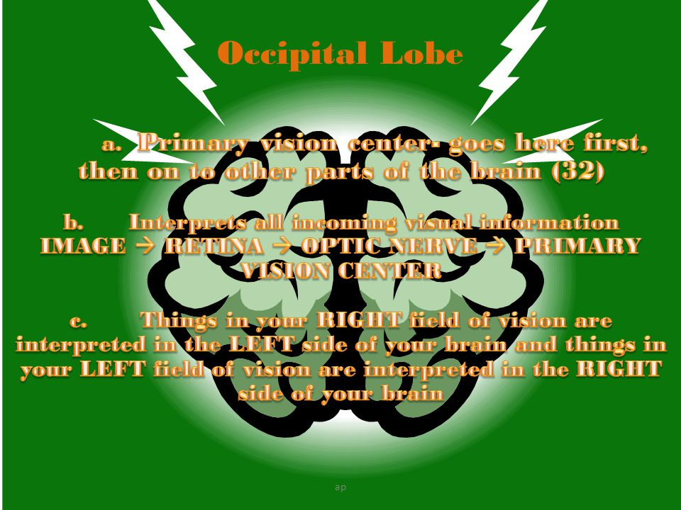 Occipital Lobe a. Primary vision center- goes here first, then on to other parts of the brain (32)