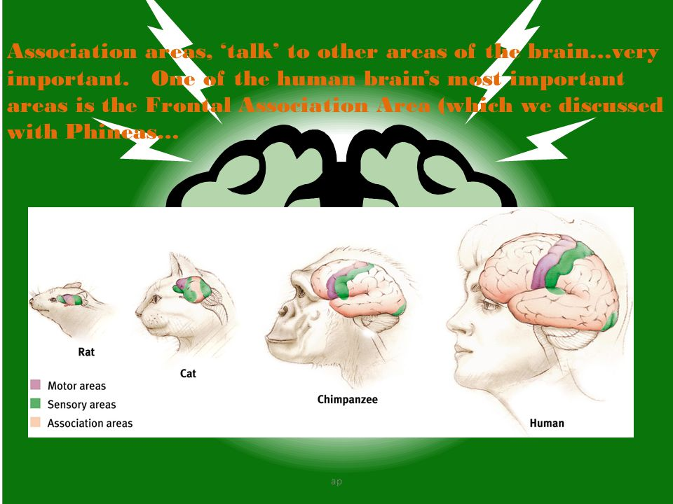 Association areas, 'talk' to other areas of the brain…very important