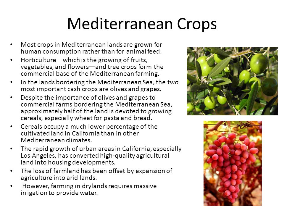 Mediterranean Crops Most crops in Mediterranean lands are grown for human consumption rather than for animal feed.