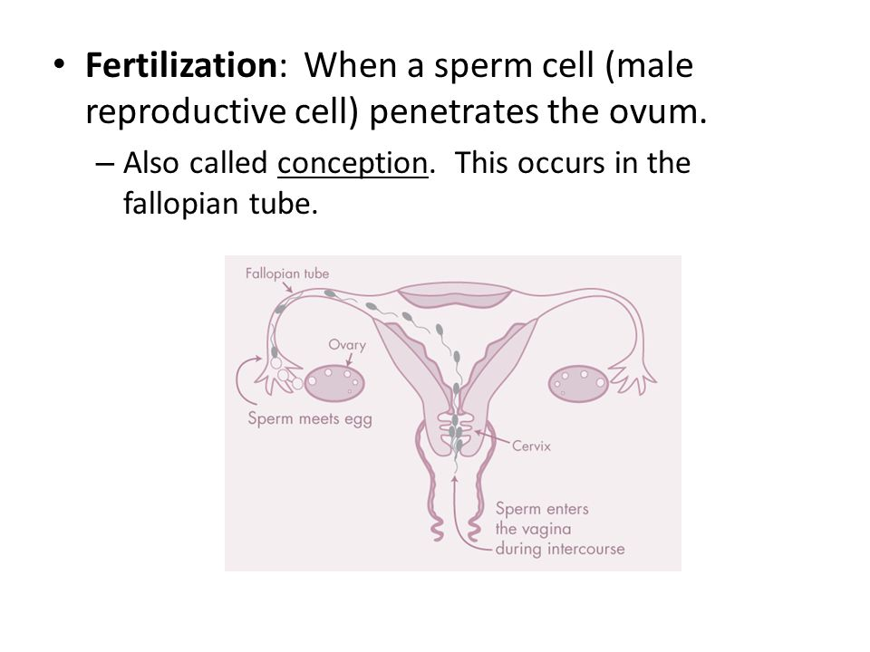 Fertilization: When a sperm cell (male reproductive cell) penetrates the ovum.
