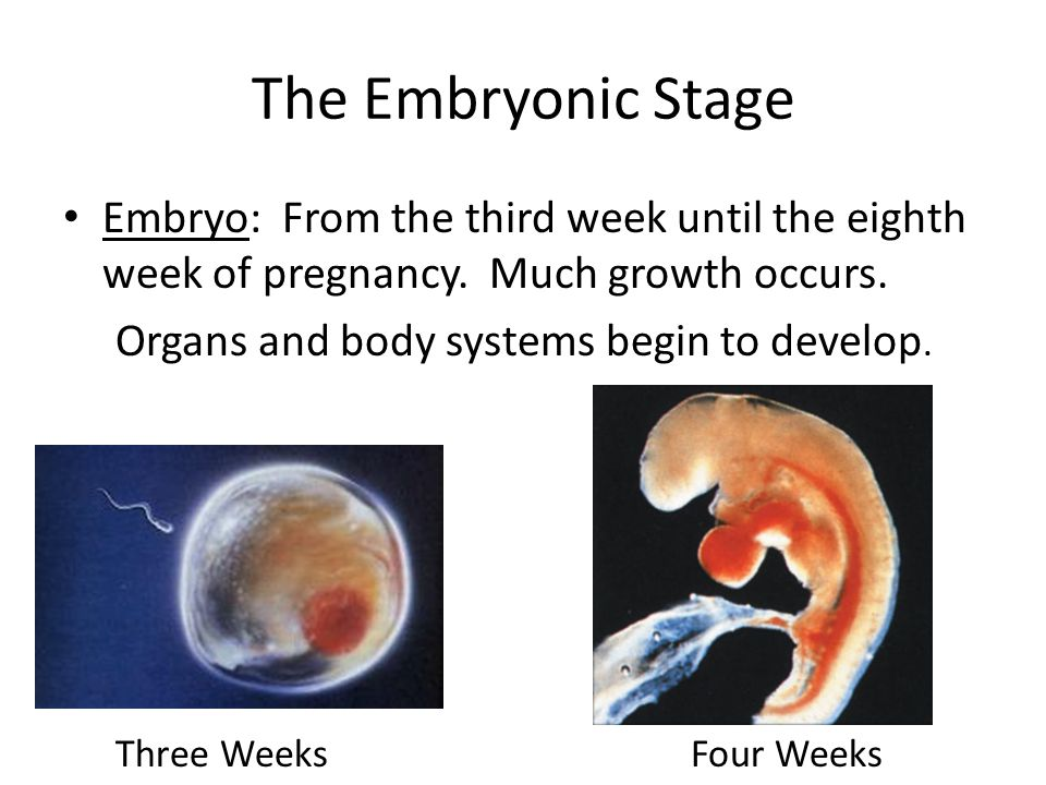 The Embryonic Stage Embryo: From the third week until the eighth week of pregnancy. Much growth occurs.