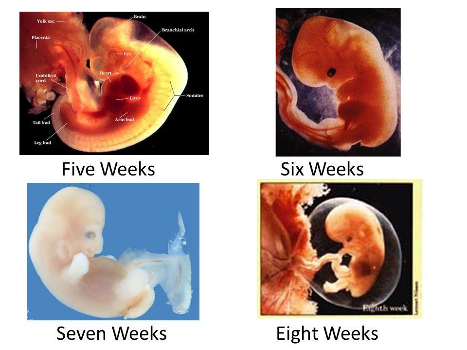 Five Weeks Six Weeks Seven Weeks Eight Weeks