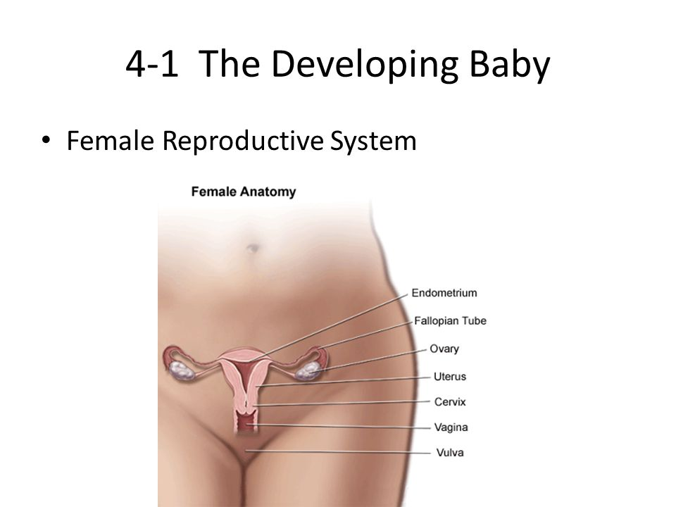 4-1 The Developing Baby Female Reproductive System