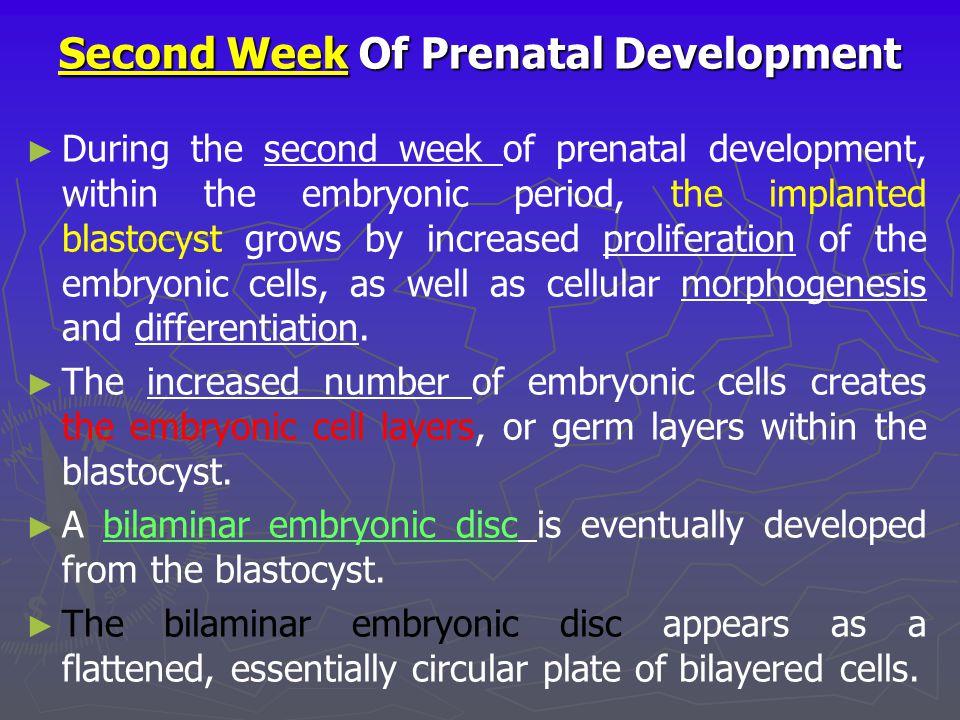 Second Week Of Prenatal Development