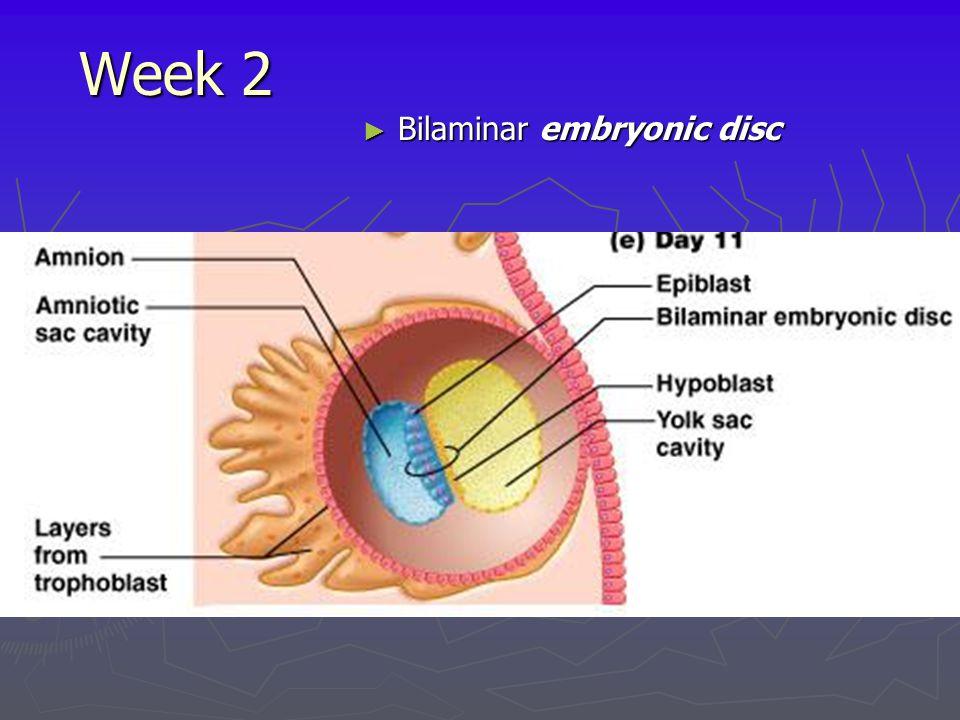 Week 2 Bilaminar embryonic disc