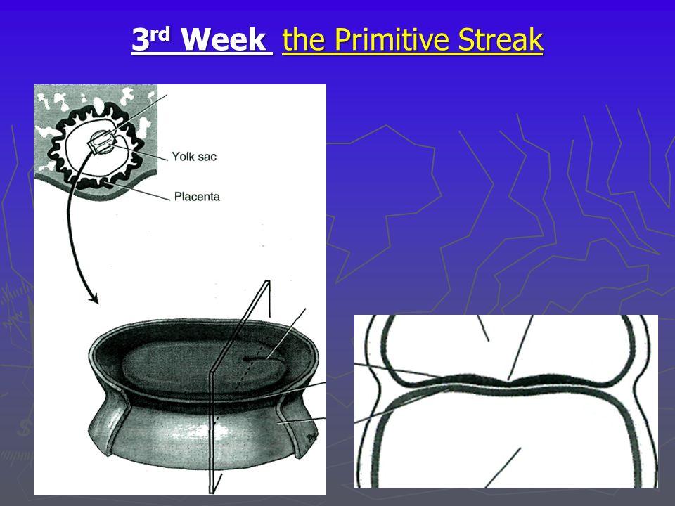3rd Week the Primitive Streak
