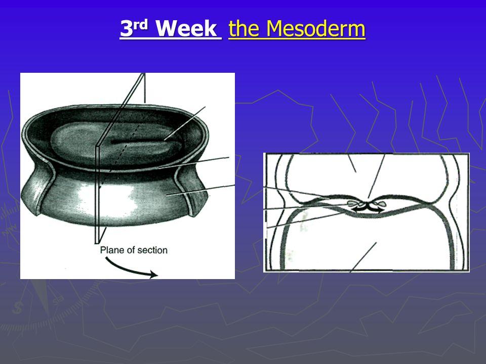 3rd Week the Mesoderm