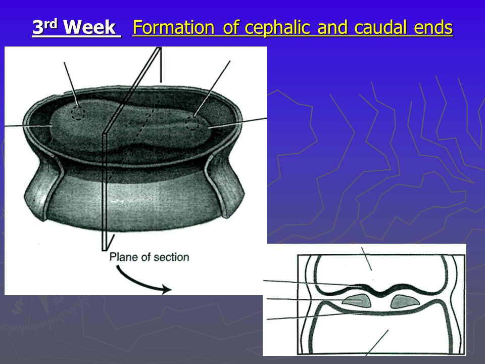 3rd Week Formation of cephalic and caudal ends