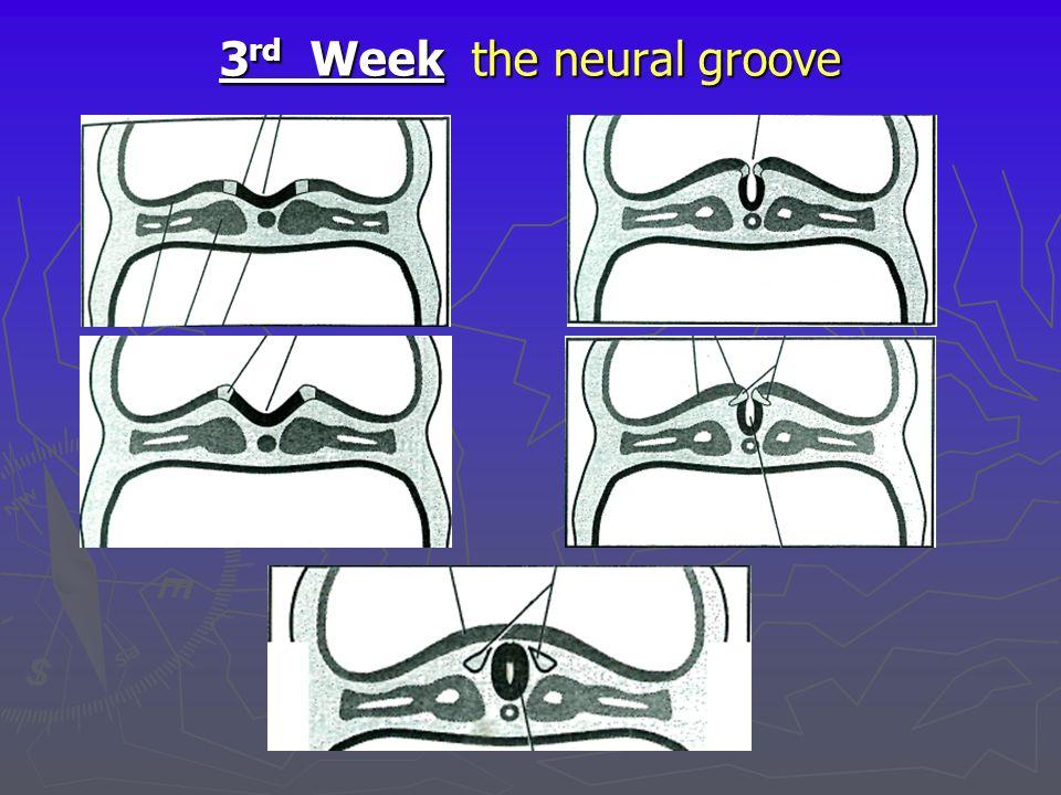 3rd Week the neural groove