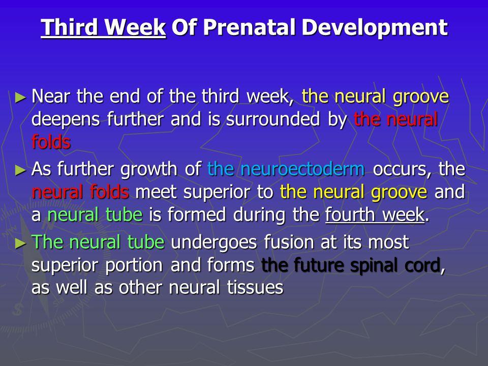Third Week Of Prenatal Development