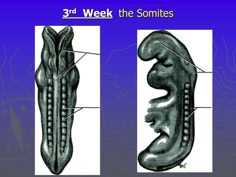 3rd Week the Somites