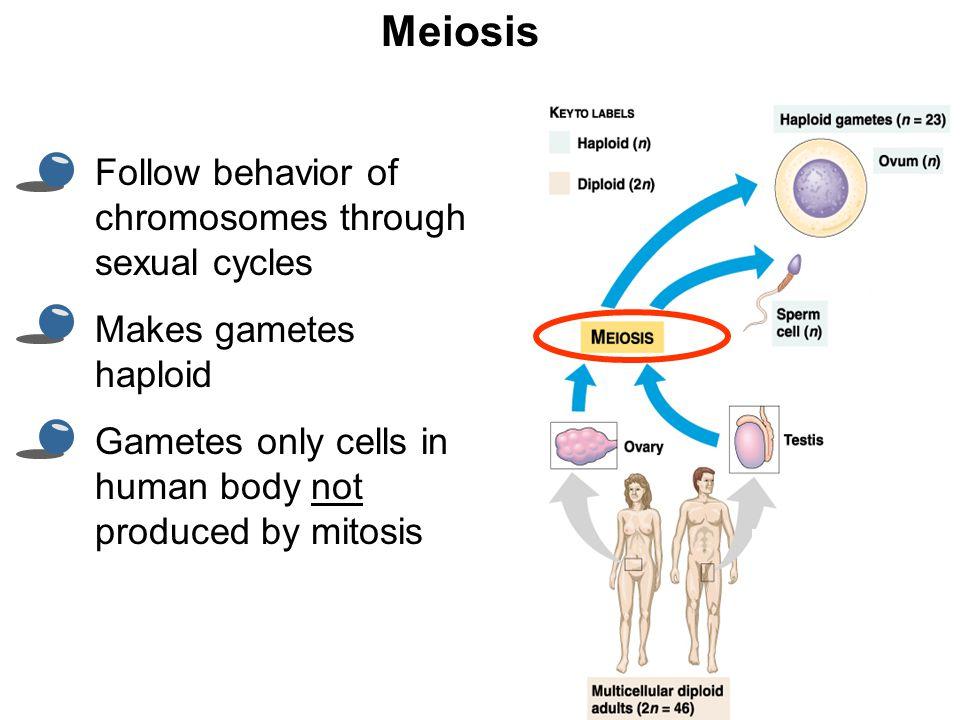 Meiosis Follow behavior of chromosomes through sexual cycles