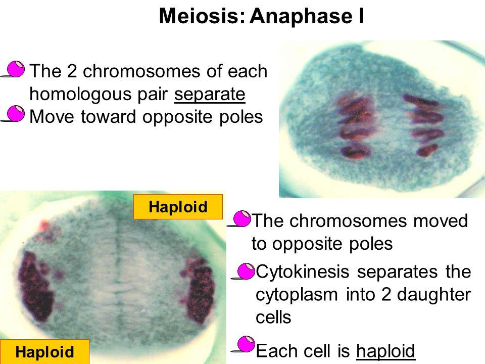 Meiosis: Anaphase I The 2 chromosomes of each homologous pair separate Move toward opposite poles. Haploid.