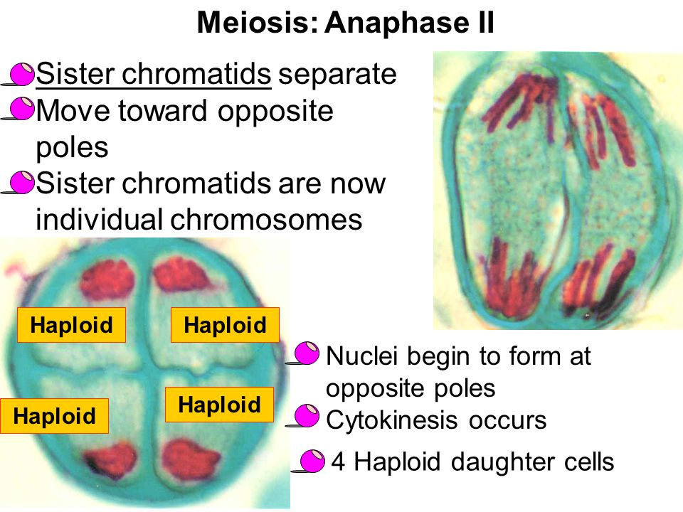 Meiosis: Anaphase II Sister chromatids separate Move toward opposite poles Sister chromatids are now individual chromosomes.