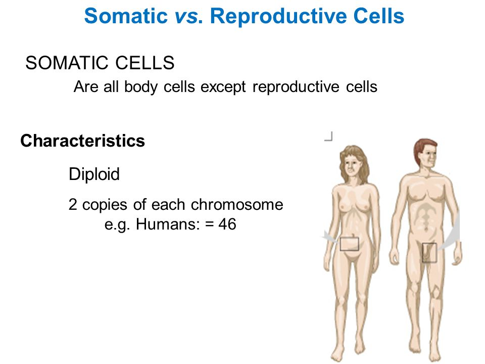 Somatic vs. Reproductive Cells