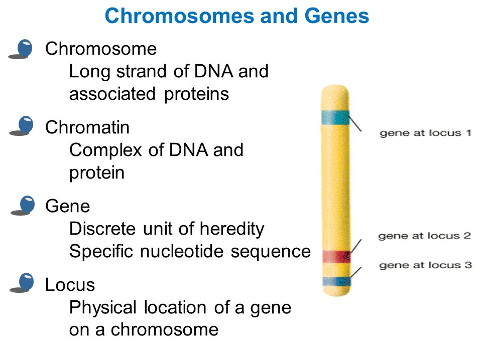 Chromosomes and Genes Chromosome Long strand of DNA and associated proteins.
