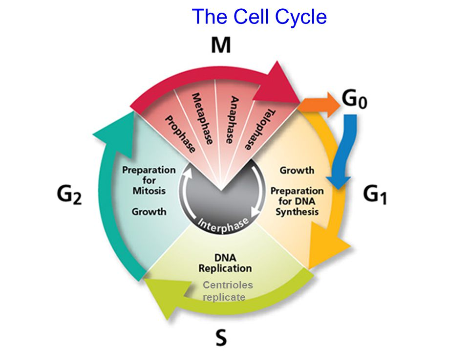 The Cell Cycle Centrioles replicate