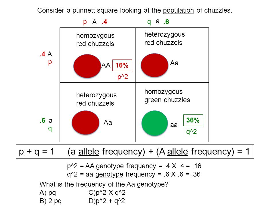 p + q = 1 (a allele frequency) + (A allele frequency) = 1