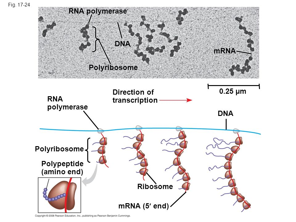 RNA polymerase DNA mRNA Polyribosome Direction of 0.25 µm