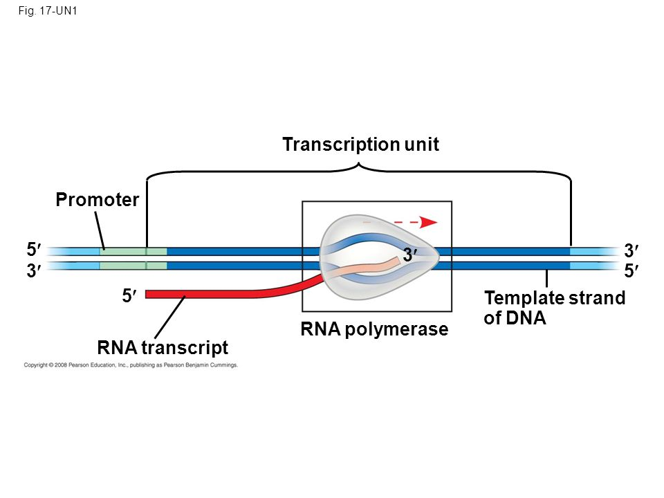 Transcription unit Promoter 5 3 3 3 5 5 Template strand of DNA