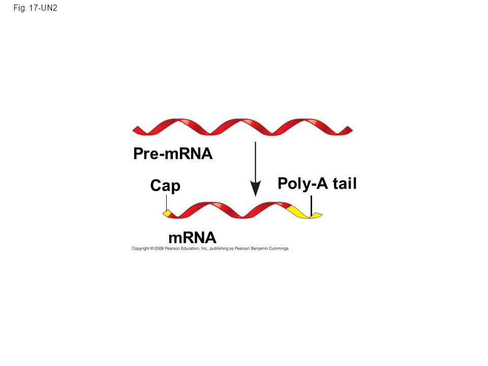 Fig. 17-UN2 Pre-mRNA Cap Poly-A tail mRNA