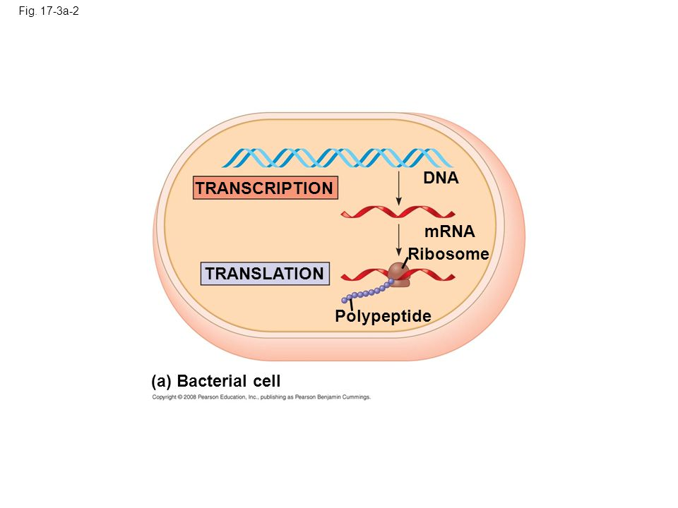 DNA TRANSCRIPTION mRNA Ribosome TRANSLATION Polypeptide