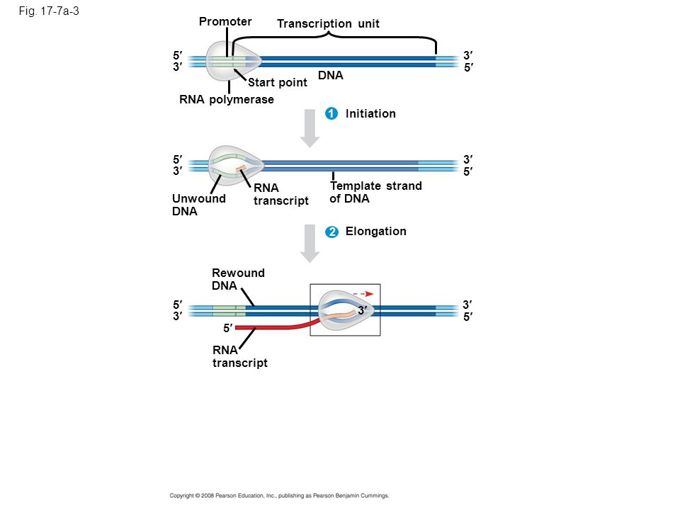 Promoter Transcription unit 5 3 3 5 DNA Start point RNA polymerase