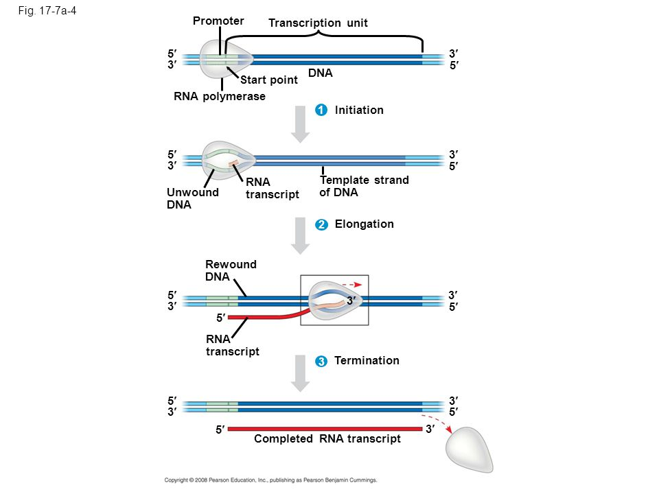 Completed RNA transcript
