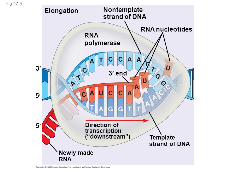 Nontemplate Elongation strand of DNA RNA nucleotides RNA polymerase 3