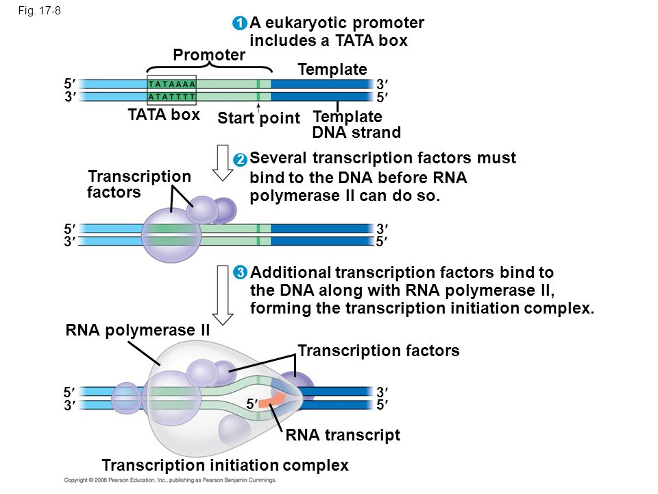 Several transcription factors must bind to the DNA before RNA