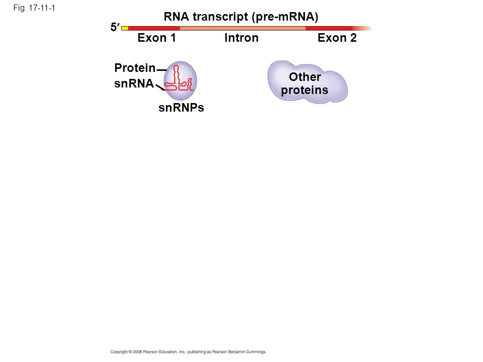 RNA transcript (pre-mRNA) 5 Exon 1 Intron Exon 2