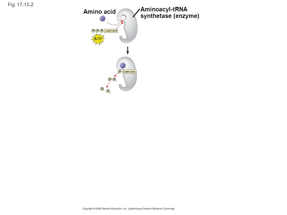 Aminoacyl-tRNA Amino acid synthetase (enzyme) Fig. 17-15-2