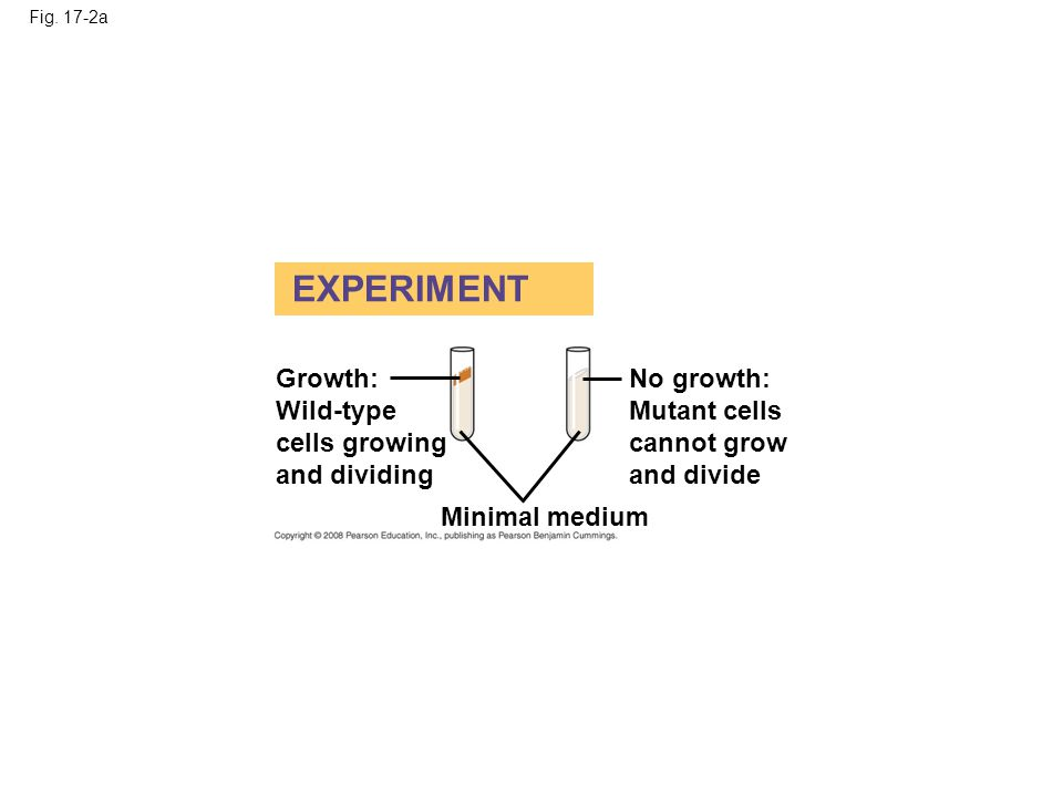 EXPERIMENT Growth: Wild-type cells growing and dividing No growth: