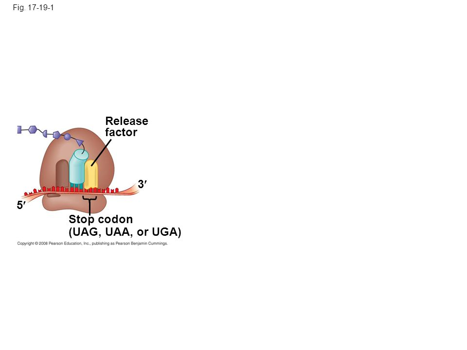 Release factor 3 5 Stop codon (UAG, UAA, or UGA) Fig. 17-19-1