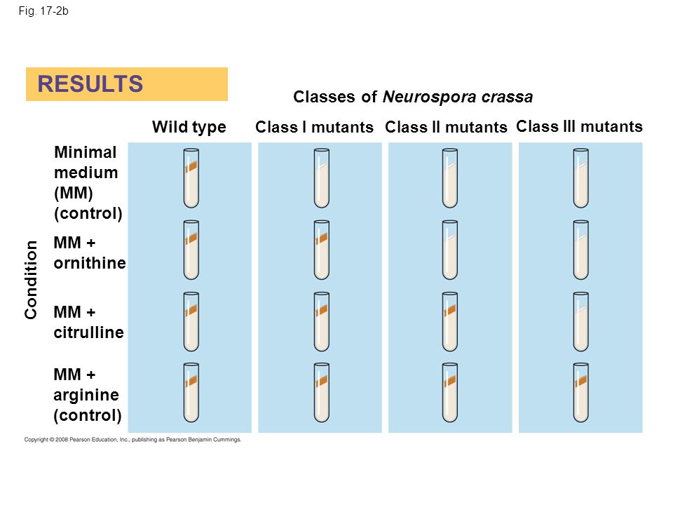 RESULTS Classes of Neurospora crassa Wild type Minimal medium (MM)