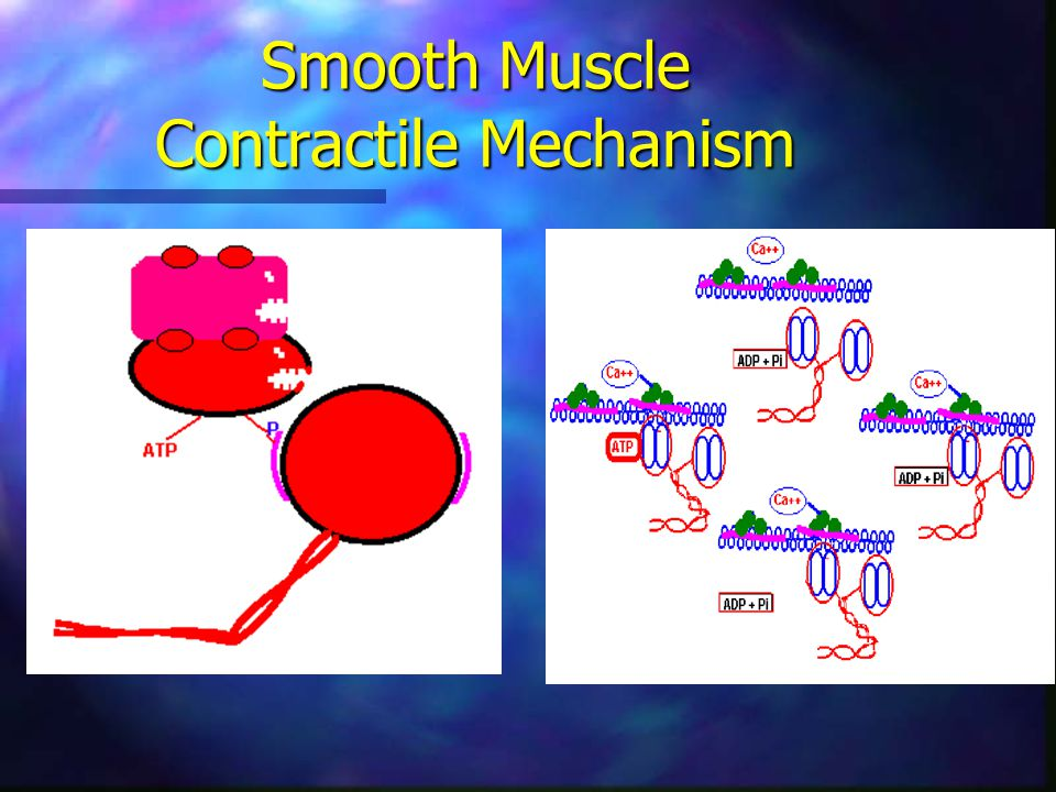 Smooth Muscle Contractile Mechanism