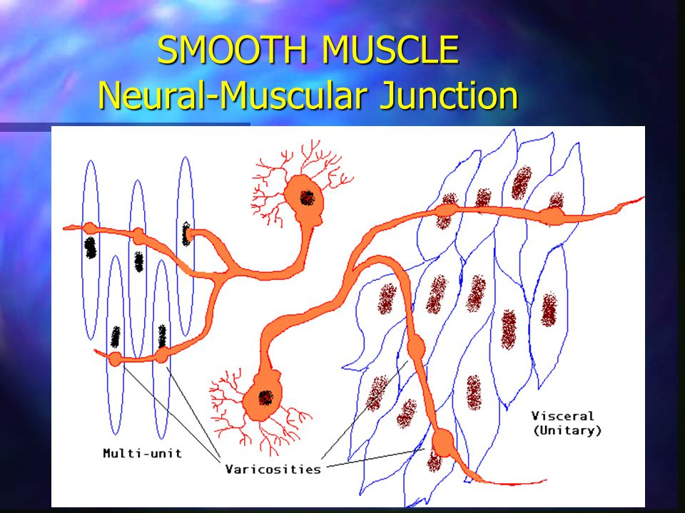 SMOOTH MUSCLE Neural-Muscular Junction