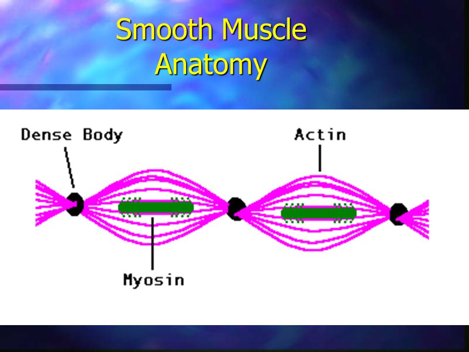 Smooth Muscle Anatomy